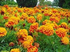 fiori profumati da giardino piante perenni 32 variet 224 per bordura giardino balcone