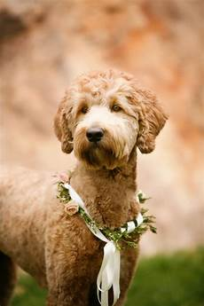 goldendoodle haircuts pets goldendoodle haircuts f1b a pretty blush and rustic mountain wedding at louland falls goldendoodle goldendoodle