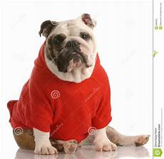 bulldog clothes for dogs redd dressed in shirt stock photo image of pullover