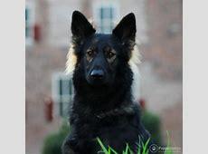 Puppyplaats.nl   Oud Duitse Herder pups  langhaar