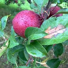 krankheiten beim apfelbaum 187 erkennen bek 228 mpfen