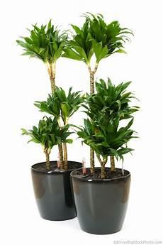 dracaena compacta compact tree dracaena plant