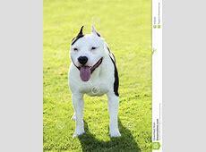 American Bulldog stock photo. Image of bull, doggy
