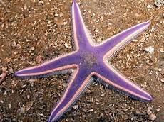 Gambar Gambar Bintang Laut
