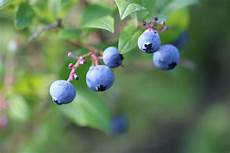 heidelbeeren pflanzen abstand heidelbeeren pflanzen standort erde und abstand blaubeeren