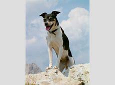 Boerenfox   Hond te KoopHond te Koop