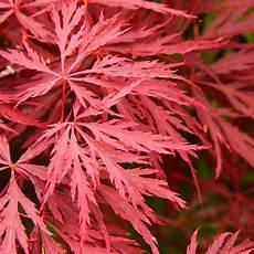 Erable Rouge Du Japon Acer Palmatum Dissectum Crimson Erable Du Japon