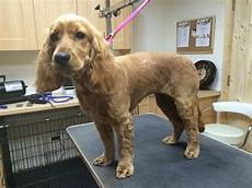 image result for cocker spaniel haircuts pup stuff pinterest english cocker spaniel