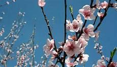 fiori mandorlo mandorlo in fiore perla di luce