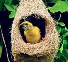 Gambar Keunikan Sarang Burung Manyar Gembala News