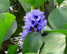 flor de bora del estado lara flor de bora jacinto de agua water hyacinth eichhornia flickr