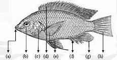 Taksonomi Morfologi Ikan Nila Oreochromis Niloticus