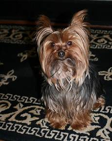yorkie haircuts miniature yorkshire terrier time for a yorkie haircut