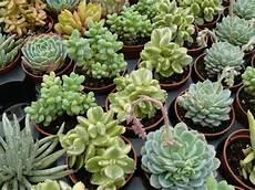 plante succulente entretien culture des succulentes arrosoirs et s 233 cateurs