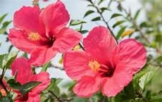 flor cayena del estado trujillo el poder curativo de la cayena emedemujer venezuela