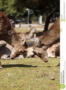 two deers without antler stock photo image of park