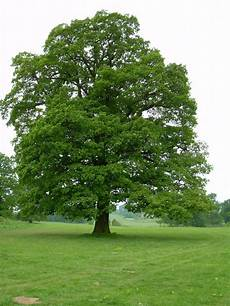 plantfiles pictures oak truffle oak pedunculate