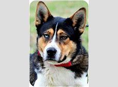 SIMON   Adopted Dog   Pawling, NY   Bernese Mountain Dog