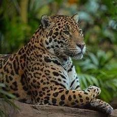 jaguar meet our animals plan your visit chester zoo big cats