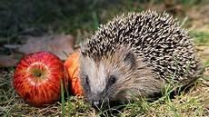 Malvorlagen Igel Herbst Winter Tiere Im Winter Wann Igel Wirklich Hilfe Brauchen