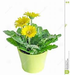 pot de fleur jaune le gerbera jaune fleurit dans un vase pot de fleurs