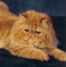 gatti persiani gatti persiani pelo lungo caratteristiche dei gatti