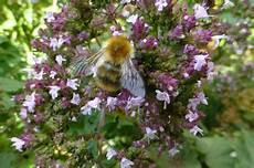 sträucher bienen schmetterlinge was essen bienen schmetterlinge und co im sp 228 tsommer