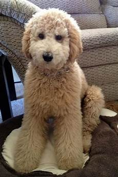 types of goldendoodle haircuts google search pretty 380 best images about doggonedoodles1 on pinterest poodles spaniels and maltese poodle mix