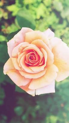 flower wallpaper iphone 6 plus pink flower iphone 6 plus hd wallpaper hd free