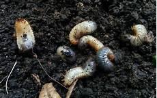 larven engerlinge rosenk 228 fer maik 228 fer oder junik 228 fer