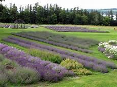 Lavender Farm Photo