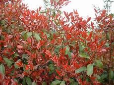 arbuste croissance rapide arbres et arbustes 224 croissance rapide