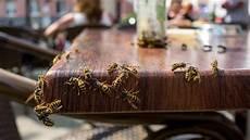 wie werden wespen eigentlich angelockt und vor allem