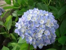 cultiver des hortensias pratique fr
