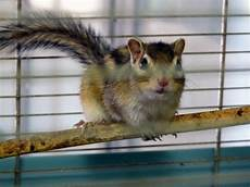gabbia per scoiattolo giapponese scoiattolo giapponese in vendita a torino club
