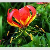poppy-flower