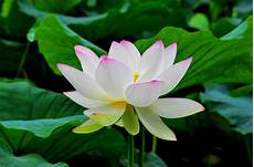 beauty flower lotus flowers