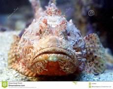 Skorpion Fische 6 Stockbild Bild 1359681