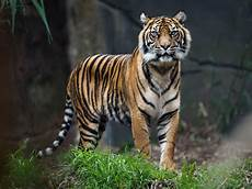 reclassifying remaining 4 000 tigers in world could help