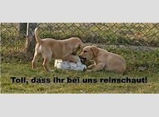 Labrador Retriever hund in Schweiz, Labrador Retriever