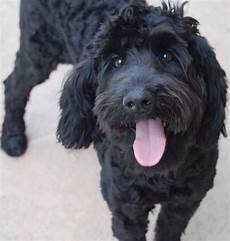 black labradoodle haircuts black labradoodle dawgies for the soul pinterest black labradoodle labradoodle and