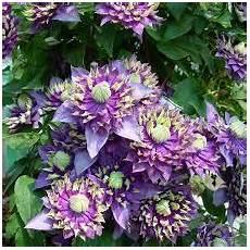 kletterpflanze schatten immergrün bildergebnis f 252 r schnellwachsende kletterpflanze