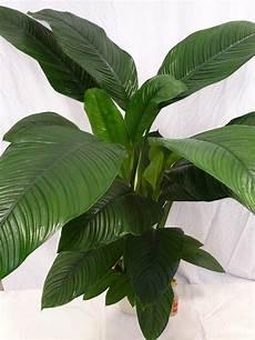 Spathiphyllum Quot Sensation Quot Einblatt Mit Bl 252 Te Ca 150 Cm