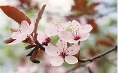 fior di ciliegio fiori ciliegio fiori di piante caratteristiche dei