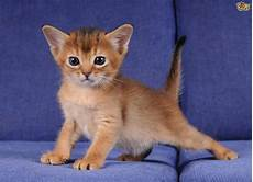 cat breed 7 cat breeds that boast like personalities pets4homes
