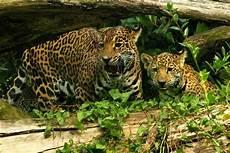 jaguar information for jaguar animal facts