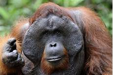 Deforestasi Bisa Dorong Orang Utan Punah Republika