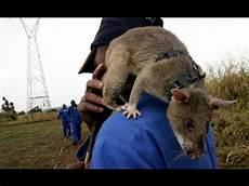 comment se débarrasser des rats comment se d 233 barasser d 233 finitivement des rats sans les