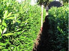 Wie Gro 223 Muss Der Pflanzabstand Bei Heckenpflanzen Sein