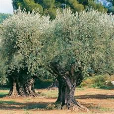 Olivier Sp 233 Cimen N 176 12 Plantes Et Jardins